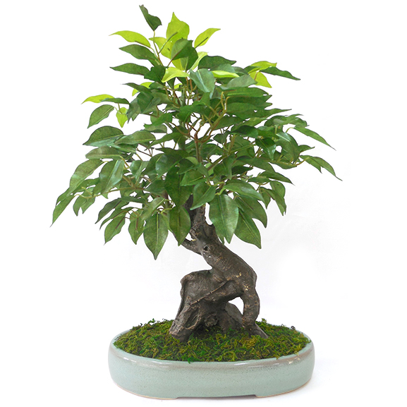 Artificial Ficus Bonsai Plant with ceramic Pot