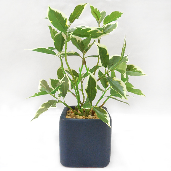 Artificial Ficus Leaf Bonsai Plant with ceramic Pot